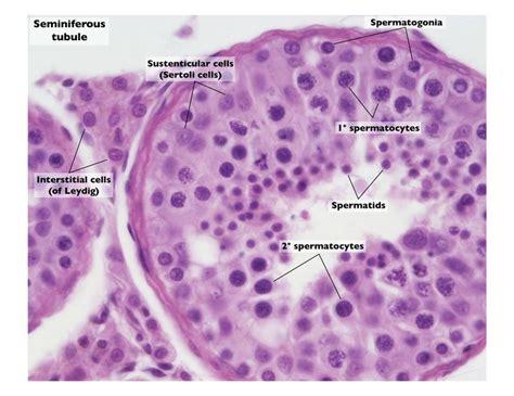 transverse section of mammalian testis testis slide seminiferous tubules google search