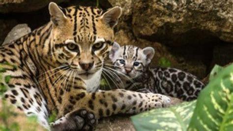 imagenes de jaguar mexicano reaparece en corrientes un ocelote presuntamente extinto