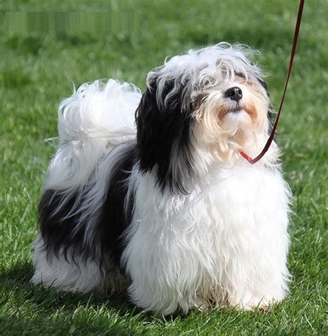 havanese information havanese dogs temperament breeds picture
