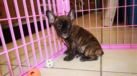 dogs for sale in atlanta wonderful frenchton puppies for sale in atlanta at puppies for sale local breeders