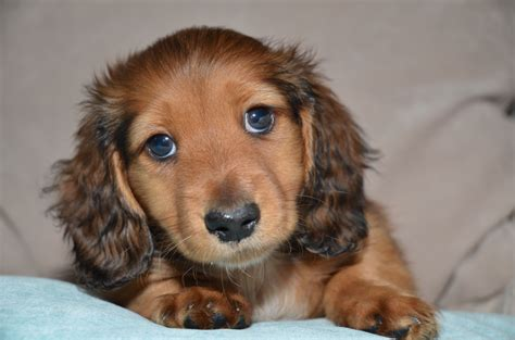 longhaired dachshund puppy adorable miniature haired dachshund puppies olney buckinghamshire pets4homes