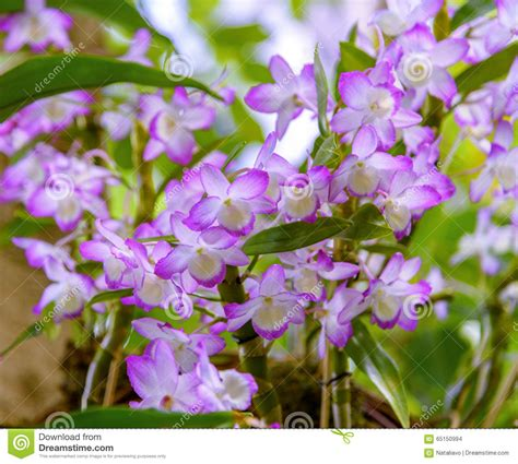 how long do flowers last orchid aerides pendulous racemes with many long lasting