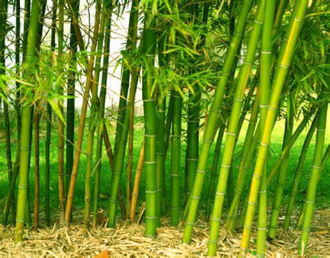 menjadi kristen pohon bambu renungan kristen