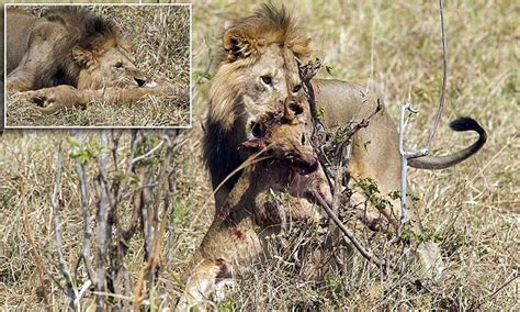 the legion and the lioness world apart books tarangire national park rips apart and eats a cub as