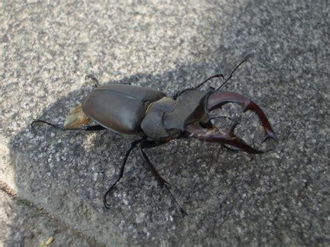 cervo volante insetto insetti della fattoria insetti regno animale