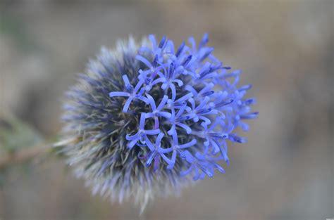 desert flower blue desert flowers www pixshark com images galleries