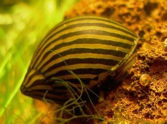 aquarioty s article les escargots d eau douce
