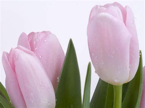 imagenes tulipanes rosas tulipanes rosas im 225 genes y fotos