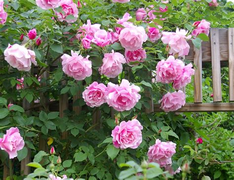 when to plant climbing roses introduction to climbing roses htm