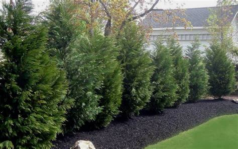 is leyland cypress still the tree to plant i think not buy leyland cypress tree for sale online from wilson bros