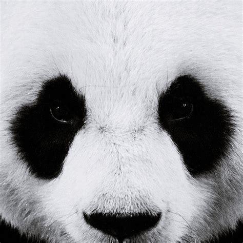 wallpaper black and white panda black and white panda volvoab