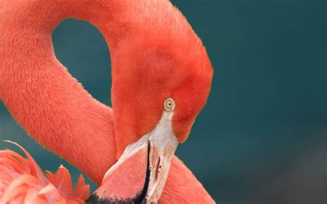 how do flamingos get their pink color why are flamingos pink wonderopolis