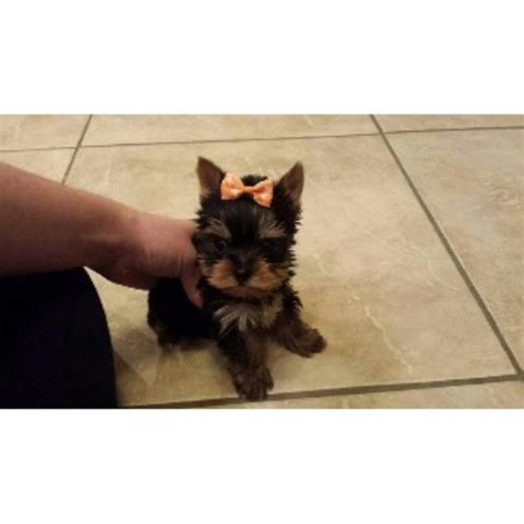 yorkie breeders ma terrier yorkie breeders in massachusetts freedoglistings