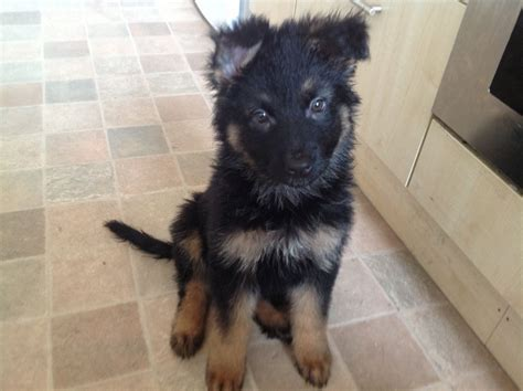 2 month german shepherd puppy kc reg 2 months german shepherd for sale stockport greater manchester