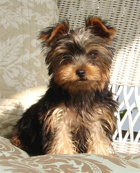 yorkie growth stages puppypictures
