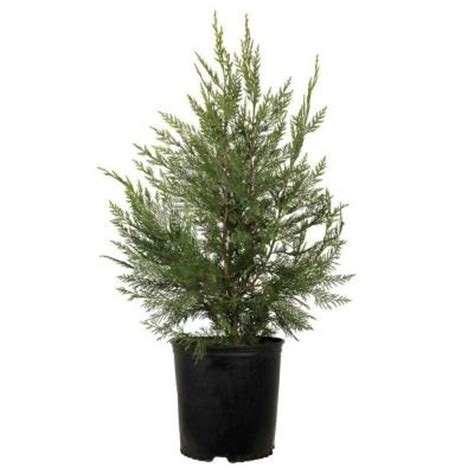 7 gal leyland cypress 12377 the home depot