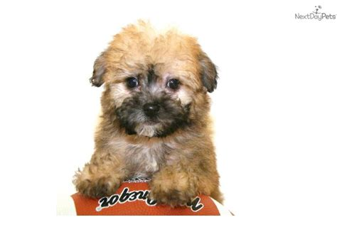 where can i buy a yorkie poo puppy teddy yorkie poo puppies teddy cut for yorkie poo hairstylegalleries