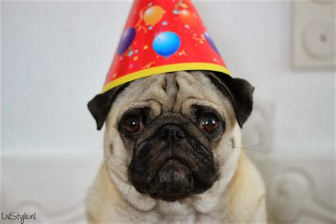 pug saying happy birthday random pugs saying happy birthday quotes