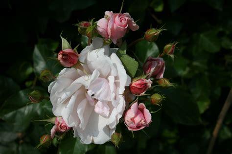 bloemen ziektes de tuindokter houd je rozen gezond h erken ziektes en