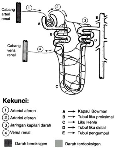Fisiologi Manusia Sherwood Warna Egc sistem urinaria sistem perkemihan biofarmasiumi s