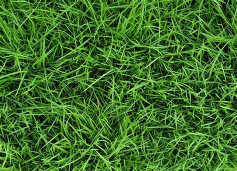 what co c 193 ch diệt cỏ gấu trong thảm cỏ nhung nhật