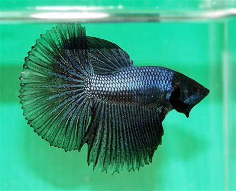 king bett king betta fish pictures