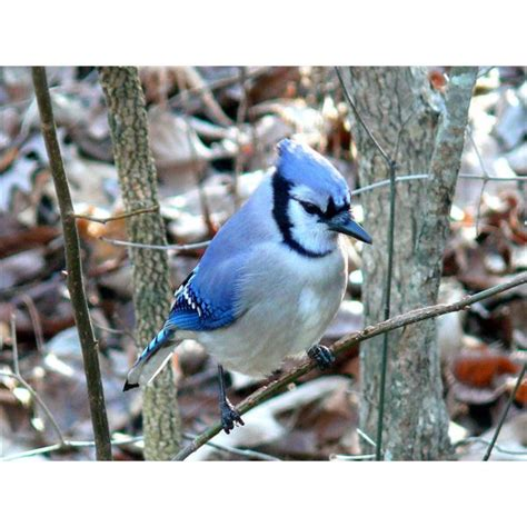 blue jay facts about blue jays behavior diet and habitat