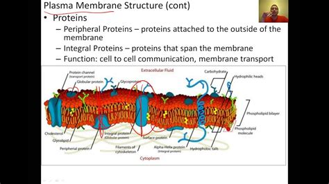 cell membrane structure  function youtube