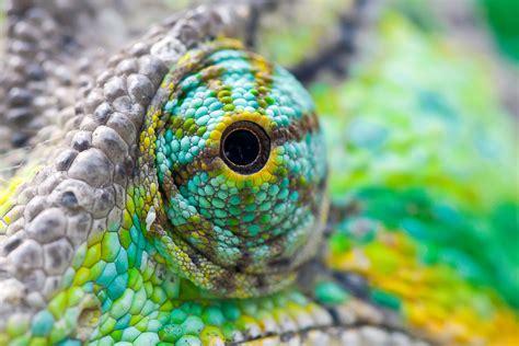 The Chameleon by Chameleon Thinglink