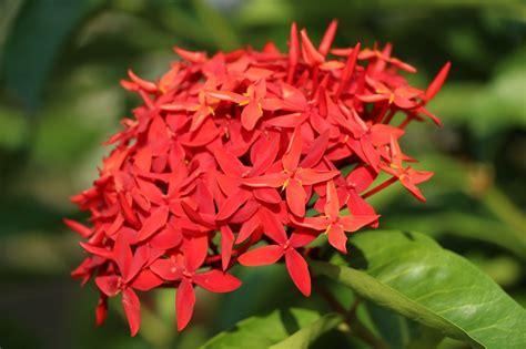 jual bibit tanaman bunga asoka tanaman hias depok
