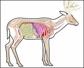 Whitetail deer anatomy shot placement
