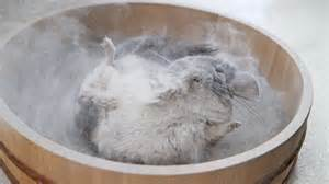 epic chinchilla dust bath in 4k ultra high definition