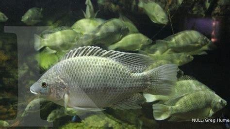 Agribisnis Ikan Mujair budidaya ikan