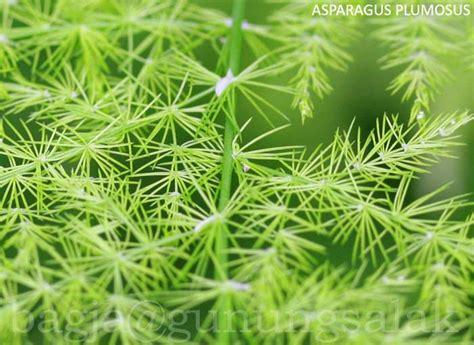 Tanaman Asparagus Plumosus tanaman tumbuhan tanaman foto gambar umum