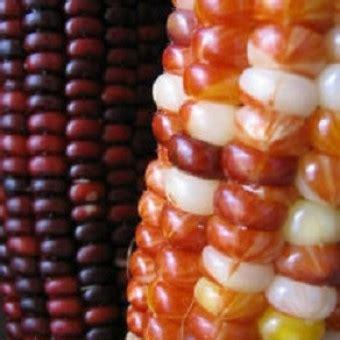 Bibit Benih Biji Paprika Of Hungary bibit jagung wum indian corn