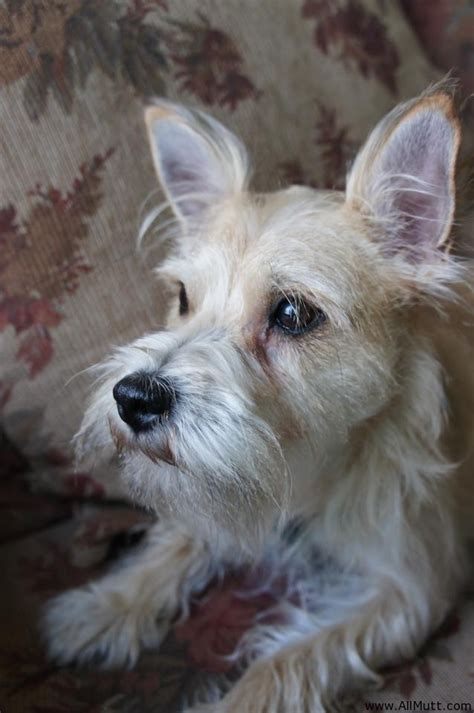 terrier mix the gallery for gt corgi cairn terrier mix