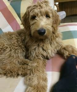doodle doodle breed interested in getting one of our goldendoodles