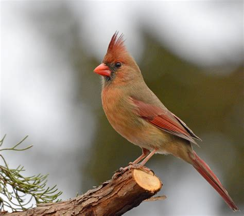 female cardinal this photo was chosen as the nature