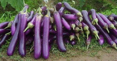 Bibit Terong Ungu Bintang Asia jual benih terong ungu reza bintang asia benihkita