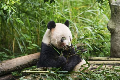 Panda Garden by Book Beijing Historical Tour With The Summer Palace Lama