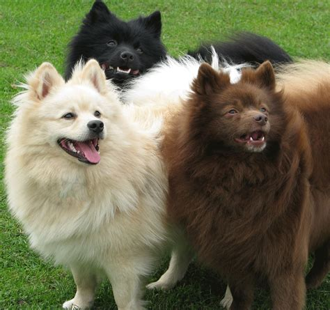 spitz breeds the german spitz klein is really a breed of in the german spitz german