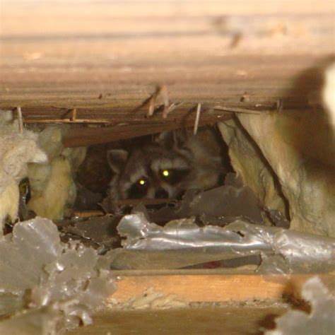 Squirrel In Ceiling by Raccoon Removal Services Squirrel Removal Batguys