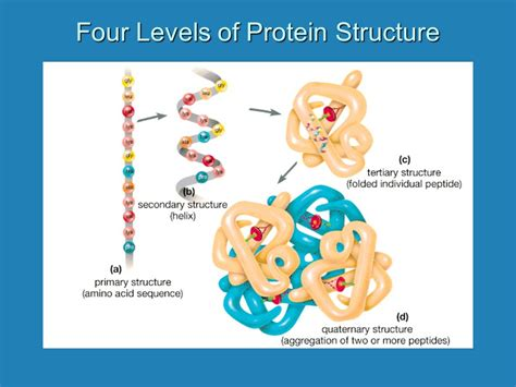 4 protein structure levels four levels of protein structure ppt