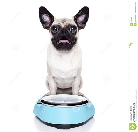 pug weight overweight pug stock photo image 44068077