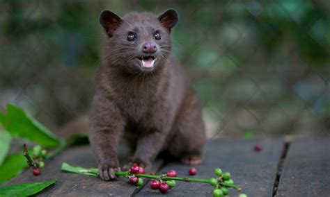 Luwak Coffee civet cat coffee can world s most expensive brew be made