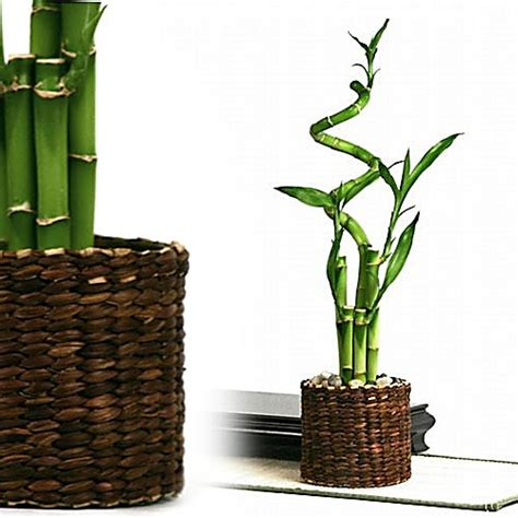 Bamboo In Water Vase by Rattan Vase Bamboo