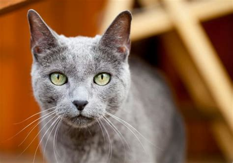 Do Russian Blue Cats Shed by 10 Hypoallergenic Cat Breeds For Allergic Families