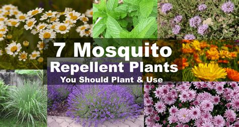 mosquito repellent plants mosquito repellent plants 7 plants that repel mosquitoes bugs