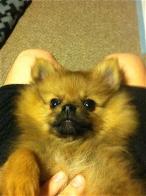 pomeranian aggressive my 9 month pomeranian is extremely aggressive