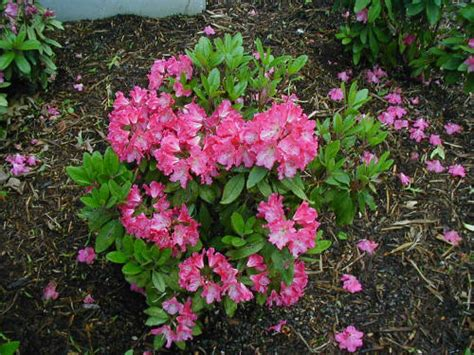 rhododendron - Small Flowering Shrubs